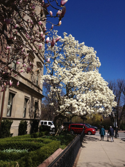 Magnolia Tree, Comm Ave
