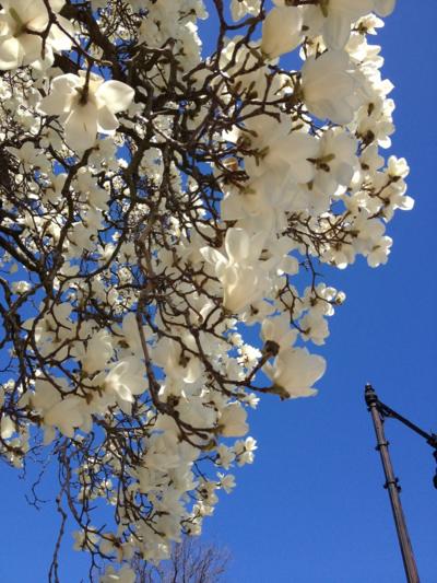 Magnolia Tree, Comm Ave.