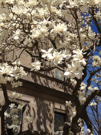 Magnolia Blossoms on Comm Ave.